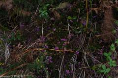 calluna vulgaris, Isles of Scilly, ulex gallii, jdy262 XX201109198899.jpg (rachelgreenbelt) Tags: uk greatbritain england europe cornwall unitedkingdom heather ericaceae fabaceae ling gorse islesofscilly leguminosae calluna floweringplants furze peafamily whin ulex callunavulgaris dicots eudicots fabales flowersyellow orderfabales familyfabaceae rosids beanfamily ulexgallii ericales legumefamily familyericaceae asterids dicotyledons westerngorse commongorse divisionmagnoliophyta orderericales fabaceaefamily ericaceaefamily autumnheather dwarffurze summerheather ericalesorder fabalesorder asteridsclade