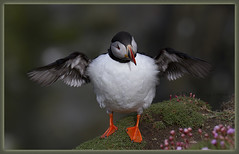 _9858 Puffin (Dave @ Catchlight Images) Tags: ocean bird nature islands head reserve puffin shetland rspb sumburgh