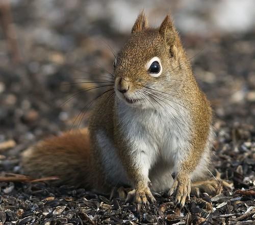 Écureuil roux / Red Squirl