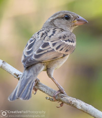 Indian Silverbill Photography