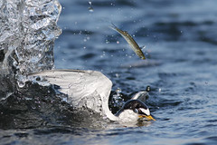 Lucky Fish! (bmse) Tags: least tern bolsachica fishing fish escapae canon 7d2 400mm f56 l bmse salah baazizi wingsinmotion