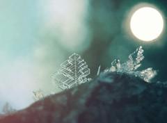 Tiny frozen tree (jilllian2) Tags: nature morning winter icecrystals ice frost green macro tiny frozen tree