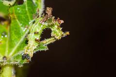 DSC_0092.jpg (hankplank) Tags: caribbean majorsbay stkitts lesserantilles geometridmoth geometridae insect lepidoptera moth synchlora