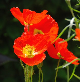 When It Comes to Poppies, I Don't Mind Going into the Red!
