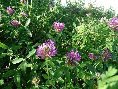 Trifolium medium - Zickzack-Klee , NGID344764770