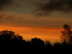 Flyby Sunrise..x (Lisa@Lethen) Tags: geese nature wildlife bird sunrise weather trees silhouettes