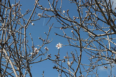 Ψίνθος (Psinthos.Net) Tags: ψίνθοσ φύση εξοχή psinthos countryside nature winter february φλεβάρησ φεβρουάριοσ χειμώνασ ανθισμένηαμυγδαλιά αμυγδαλιά almondtree almond treebranches tree δέντρο κλαδιάδέντρου άνθη λευκάάνθη άσπραάνθη whiteblossoms pollen γύρη ουρανόσ γαλάζιοσουρανόσ bluesky sky sunlight light sunnyday ηλιόλουστημέρα μέρα day φώσ φώσήλιου φώσηλίου noon μεσημέρι μεσημέριχειμώνα χειμωνιάτικομεσημέρι tale ουρά αεροπλάνο airplane