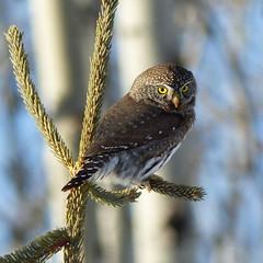 Northern Pygmy-owl (annkelliott) Tags: alberta canada swofcalgary seenaftersheepriverchristmasbirdcount2016 nature ornithology avian bird birds owl northernpygmyowl glaucidiumgnoma birdofprey perched tree branch popcansized fistsized hunting predator ferocioushunter bokeh outdoor winter 27december2016 fz200 fz2004 annkelliott anneelliott ©anneelliott2016 ©allrightsreserved