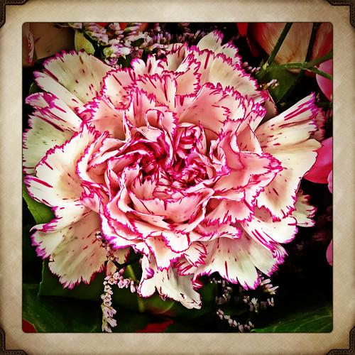 Nelken Blumen 🌺!