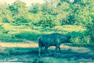Búfalo indio