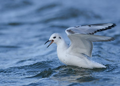 Bonaparte's Gull (Danielirons02) Tags: nikon nikontc14 nikon300mmf4 nikond610 fullframe bogu bonapartsgull water gull bird queenannescounty maryland queenannescountymd