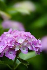 _DSC0060 (iLoveLilyD) Tags: flower japan kamakura sony kanagawa sal135f28 minoltaamount α99 slta99v ilovelilyd
