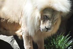 KWHSS-Vegas June 2014 427 (Beothuk) Tags: vegas animals june garden los secret tourist mirage mammals secretgarden 2014 minizoo sigrfiedandroy