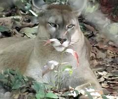 Ona Parda (gustavoramalho) Tags: brasil fauna silvestre pintada par ona parda amaznia sussuarana