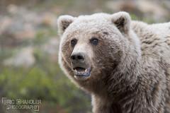 Momma Griz (Eric Chandler) Tags: bear park wild brown alaska wildlife ak national cubs grizzly denali