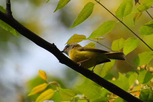 Abroscopus superciliaris -  Yellow-bellied Warbler