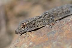 Moorish gecko, Tarentola mauritanica (willjatkins) Tags: tarentolamauritanica geckoes moorishgecko frenchwildlife frenchlizards lizardsofprovence frenchreptiles wildlifeofprovence reptilesofprovence