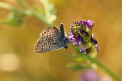 Little Blue (gripspix (OFF)) Tags: butterfly insect insekt schmetterling bluling bluebutterfly 20140627
