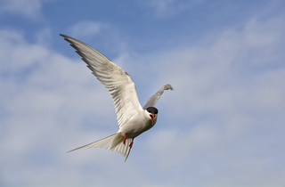 Acrtic Tern in Flight ~ Explored