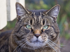 Reginald the couch-tiger (DanR) Tags: cat giant tabby friendly huge moby housecat plump katoomba largest