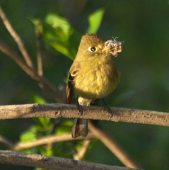 Cordillerean Flycatcher