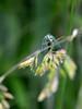 Demoiselle aux yeux d'or (calais56) Tags: blue macro couleurs turquoise vert insecte insectes verte herbe ailes transparentes neuroptera photosite prisedevue chrysope chrysopacarnea chrysopidés névroptères demoiselleauxyeuxdor