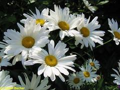 Daisies (Detlef_B) Tags: flowers daisies