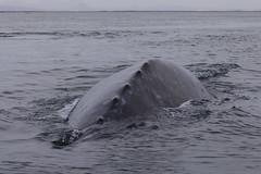 Grauwal / grey whale  (Eschrichtius robustus), Laguna San Ignacio - Whale Sanctuary of El Vizcano, Baja California, Mexico (anschieber | niadahoam.de) Tags: mexico bajacalifornia 2014 graywhale unescoweltkulturerbe lagunasanignacio niederkalifornien 201402 bartenwalemysticeti grauwaleschrichtiusrobustus walecetacea whalesanctuaryofelvizcano taxonomy:dinomial=eschrichtiusrobustus