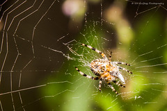 26.07.2014.07 (Guffogg The Geek) Tags: insect spider spiders web spiderweb insects spidersweb spiderwebs webs invertebrate invertebrates spiderswebs