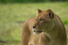 La Lionne