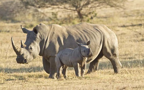 Rhino mother  and young , early morning  light _1342