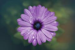 Purple Rain (JGo9) Tags: flower nature up rain close purple daisy