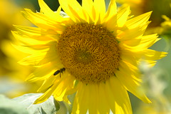 Flying visit (bbic) Tags: summer yellow lookin visit bee sunflower