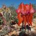 Fabaceae Faboideae>Swainsona formosa Sturt's Desert Pea DSCF2014