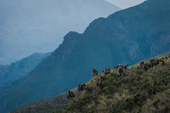 Geladas in the mountains (jtkerb) Tags: ethiopia yeg guassa