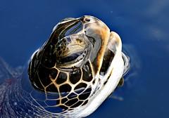 Anglų lietuvių žodynas. Žodis marine creature reiškia jūrų padaras lietuviškai.