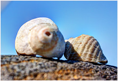 Shells (ScottElliottSmithson) Tags: shells macro beach nature canon landscape eos coast scenery 7d whidbeyisland pacificnorthwest washingtonstate whidbey islandcounty fortebey washingtonstateparks fortebeystatepark eos7d dtwpuck scottsmithson scottelliottsmithson