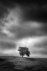 Calero Tree (StefanB) Tags: california sky bw tree monochrome clouds outdoor hiking geotag treescape 2014 em5 1235mm calerocountrypark flvonmirikr