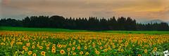 A F l o w e r C a l l e d N o w h e r e (AnthonyGinmanPhotography) Tags: sunset panorama field japan olympus sunflowers niigata novoflex olympus1454mmf28 olympuse30