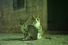 Kotor Alley cats (peter_a_hopwood) Tags: summer cat sony montenegro 2014 kotor a99