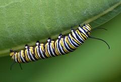 Monarch Caterpillar (Explored) (ctberney) Tags:
