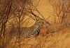 Hunting leopard. (Rainbirder) Tags: kenya samburu africanleopard pantherapardus rainbirder