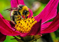 Oxford's Creatures (Clive Jones Photography) Tags: flowers urban gardens bees cosmos oxfordshire oxforduk clivejones nikond300s copyrightclivejones