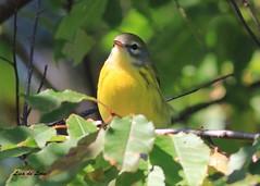 Prairie Warbler (de Leon2014) Tags: newfoundland de lisa leon prairie rare warbler