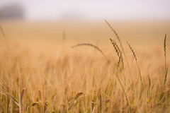 field (joeranm) Tags: travel nature field denmark nikon grain 85mm nikkor fx d600 telephotolenses nikond600