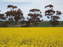 Canola. Gums trees and canola paddocks. Hoyleton South Australia.