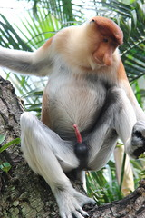 Bekantan #monkey #animal #zoo #erection #penis #adult #long_nose (eddy_suaedi) Tags: animal penis zoo monkey adult erection longnose