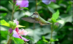 This is a Ruby-throated Hummingbird working on a Rose Of Sharon Hibiscus in the backyard. (NYMatt) Tags: