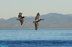 Pelicans1090 (mcshots) Tags: ocean california winter sea sky usa mountains pelicans nature water birds animals coast wings wildlife stock flight feathers socal mcshots southbay losangelescounty