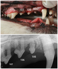 dog teeth dental xray normal labeled disease abnormal boneloss periodontal sidebysidecomparison